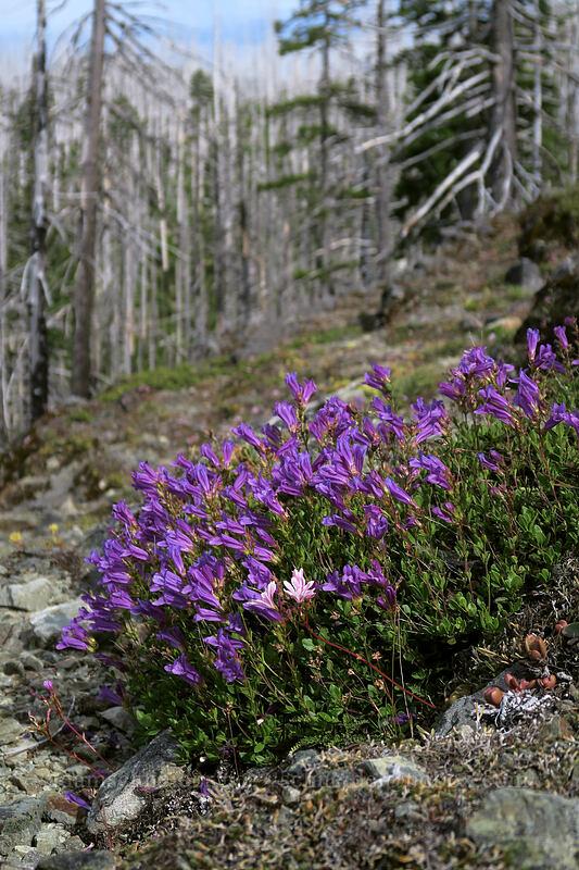 Cardwell's penstemon (Penstemon cardwellii) [Babyfoot Lake Trail, Kalmiopsis Wilderness, Oregon]