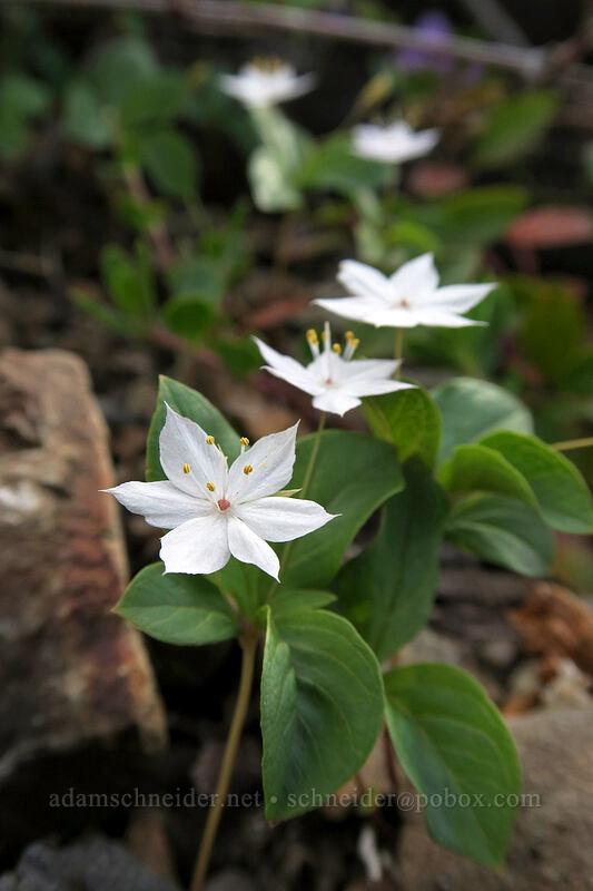 broad-leaf starflower (Trientalis latifolia) [Babyfoot Lake Trail, Kalmiopsis Wilderness, Oregon]