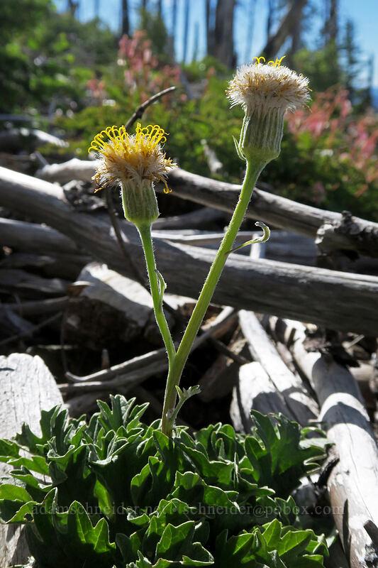 silvercrown (Cacaliopsis nardosmia (Cacalia nardosmia)) [Babyfoot Lake Trail, Kalmiopsis Wilderness, Oregon]