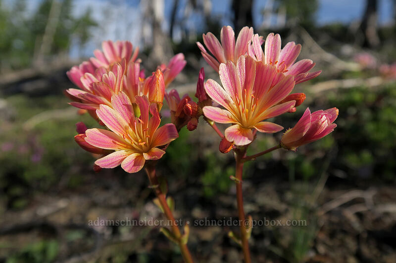 Siskiyou lewisia (Lewisia cotyledon var. cotyledon) [Babyfoot Lake Rim Trail, Rogue River-Siskiyou National Forest, Oregon]