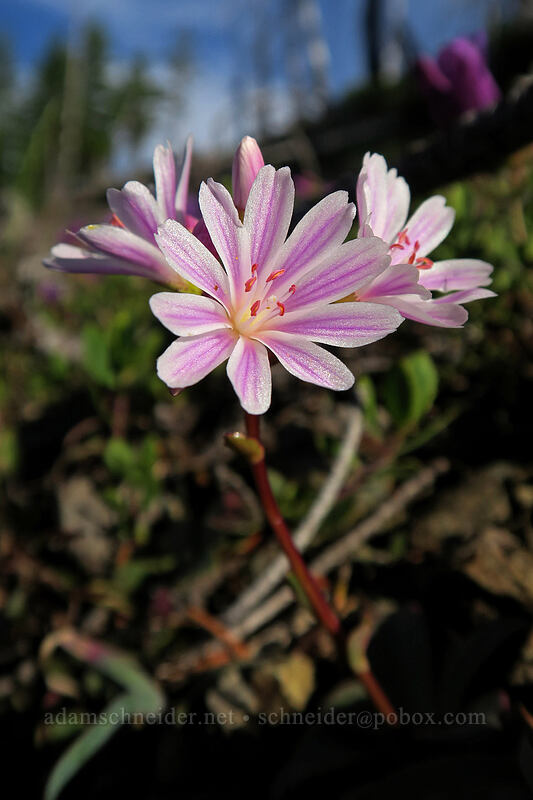 Siskiyou lewisia (Lewisia cotyledon var. cotyledon) [Babyfoot Lake Rim Trail, Rogue River-Siskiyou National Forest, Oregon]