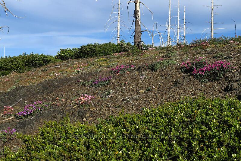 wildflowers [Babyfoot Lake Rim Trail, Rogue River-Siskiyou National Forest, Oregon]