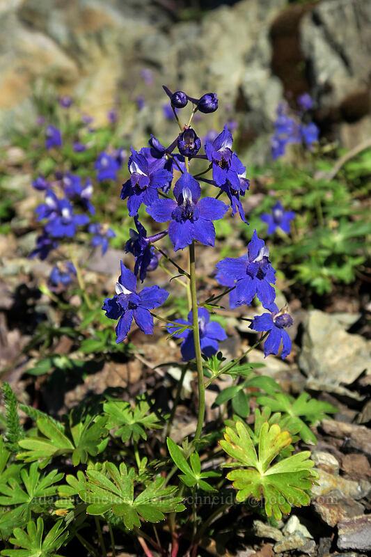 larkspur (Delphinium nuttallianum) [Babyfoot Lake Rim Trail, Rogue River-Siskiyou National Forest, Oregon]
