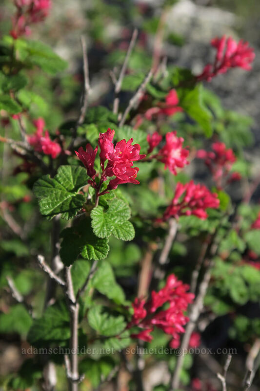 red-flowering currant (Ribes sanguineum) [Babyfoot Lake Rim Trail, Rogue River-Siskiyou National Forest, Oregon]