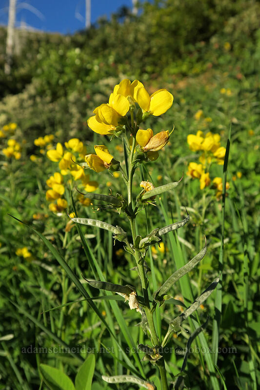 slender golden-banner (mountain pea) (Thermopsis gracilis) [Forest Road 4201, Rogue River-Siskiyou National Forest, Oregon]