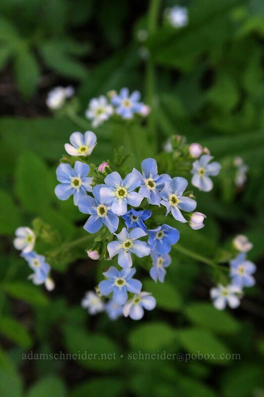blue stickseed (Hackelia micrantha (Hackelia jessicae)) [Grizzly Peak Trail, Jackson County, Oregon]