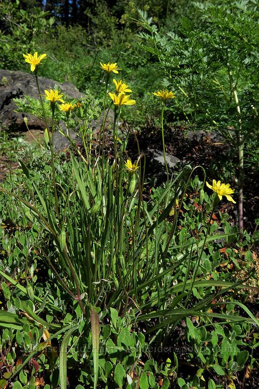 nodding microseris (Microseris nutans) [Grizzly Peak Trail, Jackson County, Oregon]