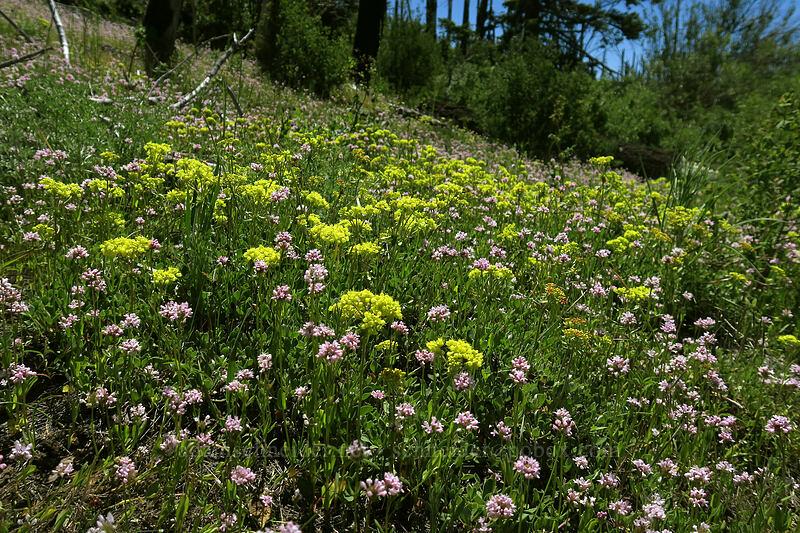 sulphur-flower buckwheat & rosy plectritis (Eriogonum umbellatum, Plectritis congesta) [Grizzly Peak Trail, Jackson County, Oregon]