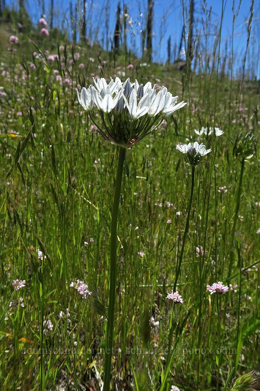 white brodiaea (wild hyacinth) (Triteleia hyacinthina) [Grizzly Peak Trail, Jackson County, Oregon]