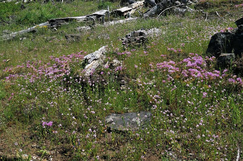 Siskiyou onion & rosy plectritis (Allium siskiyouense, Plectritis congesta) [Grizzly Peak Trail, Jackson County, Oregon]