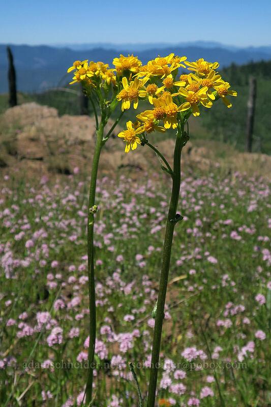 western groundsel (Senecio integerrimus) [Grizzly Peak Trail, Jackson County, Oregon]