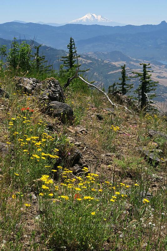 Oregon sunshine & Mt. Shasta (Eriophyllum lanatum) [Grizzly Peak Trail, Jackson County, Oregon]