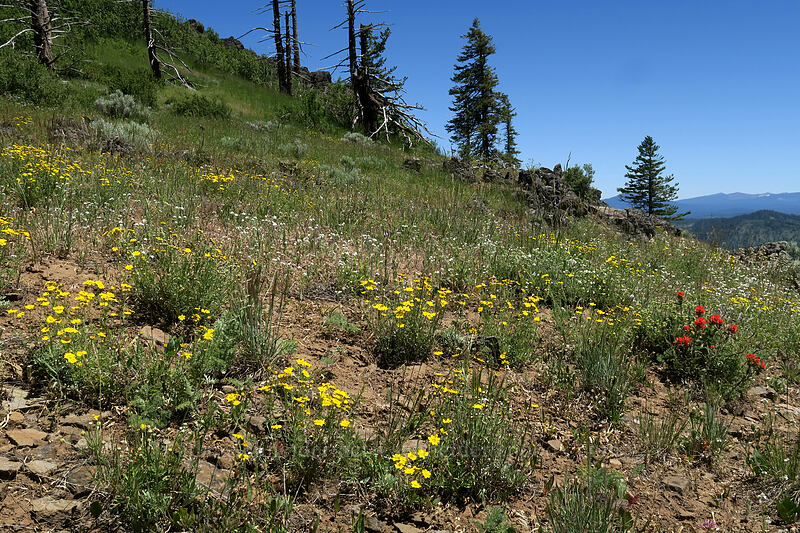 wildflowers [Grizzly Peak Trail, Jackson County, Oregon]