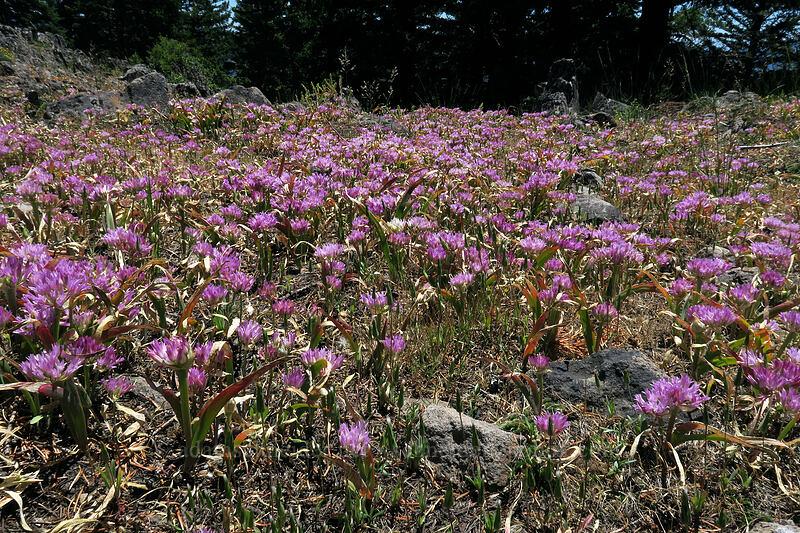 Siskiyou onion (Allium siskiyouense) [Grizzly Peak Trail, Jackson County, Oregon]