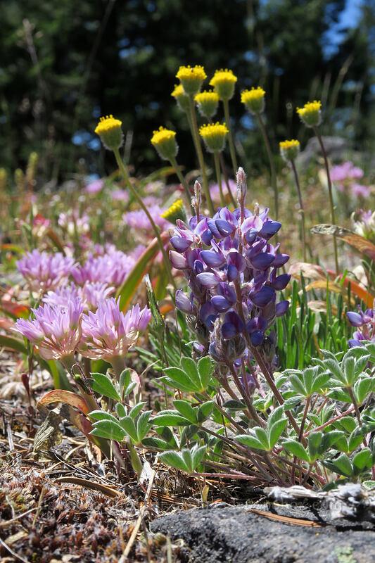 dwarf lupine, Siskiyou onion, & scabland fleabane (Lupinus lepidus var. lobbii, Allium siskiyouense, Erigeron bloomeri var. bloomeri) [Grizzly Peak Trail, Jackson County, Oregon]