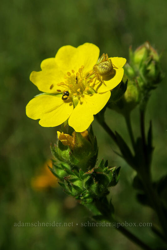 spider on slender cinquefoil (Potentilla gracilis) [Old Hyatt Prairie Road, Cascade-Siskiyou National Monument, Oregon]