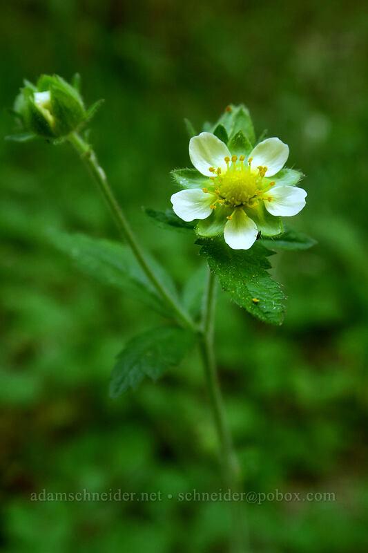 sticky cinquefoil (Potentilla glandulosa (Drymocallis sp.)) [Greensprings Mountain Loop Trail, Cascade-Siskiyou National Monument, Oregon]