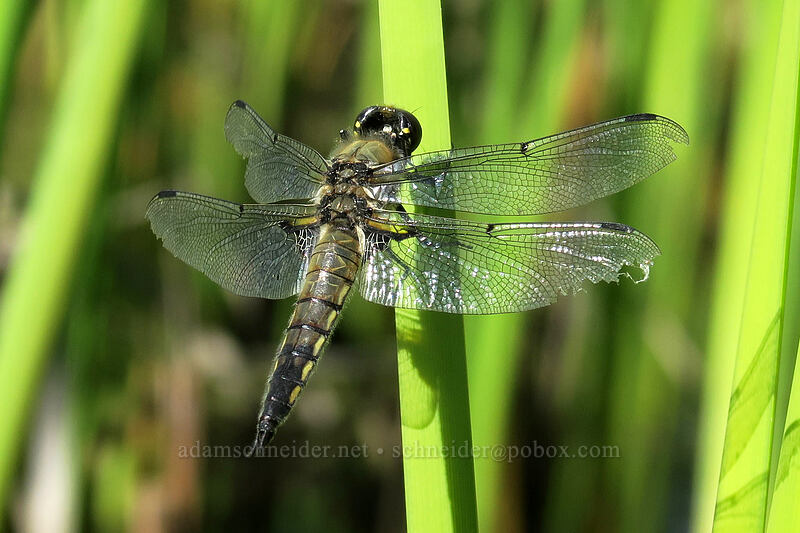 four-spotted skimmer dragonfly (Libellula quadrimaculata) [Greensprings Mountain Loop Trail, Cascade-Siskiyou National Monument, Oregon]