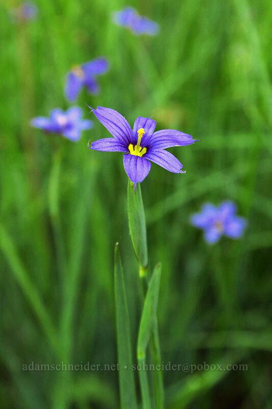 blue-eyed grass (Sisyrinchium sp.) [Greensprings Mountain Loop Trail, Cascade-Siskiyou National Monument, Oregon]