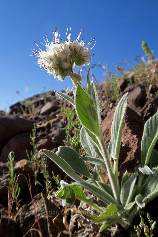 serpentine phacelia (Phacelia corymbosa) [west of the PCT, Soda Mountain Wilderness, Oregon]