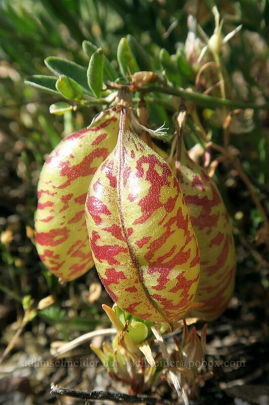 balloon-pod milk-vetch (Astragalus whitneyi) [west of the PCT, Soda Mountain Wilderness, Oregon]