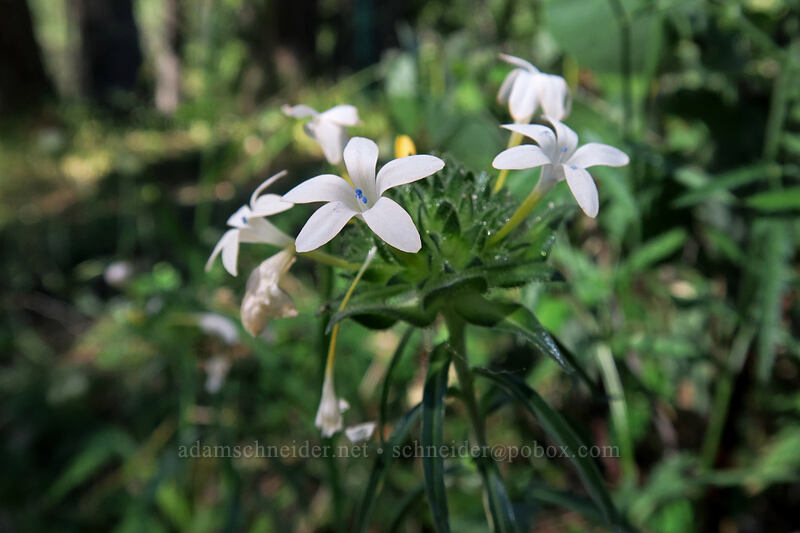 grand collomia, white (Collomia grandiflora) [Bandersnatch Trail, Ashland, Oregon]