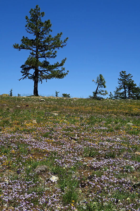 wildflowers [King Mountain ACEC, Josephine County, Oregon]