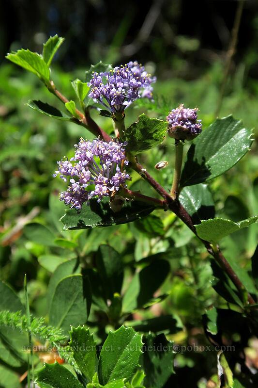 mahala mat (Ceanothus prostratus) [King Mountain ACEC, Josephine County, Oregon]