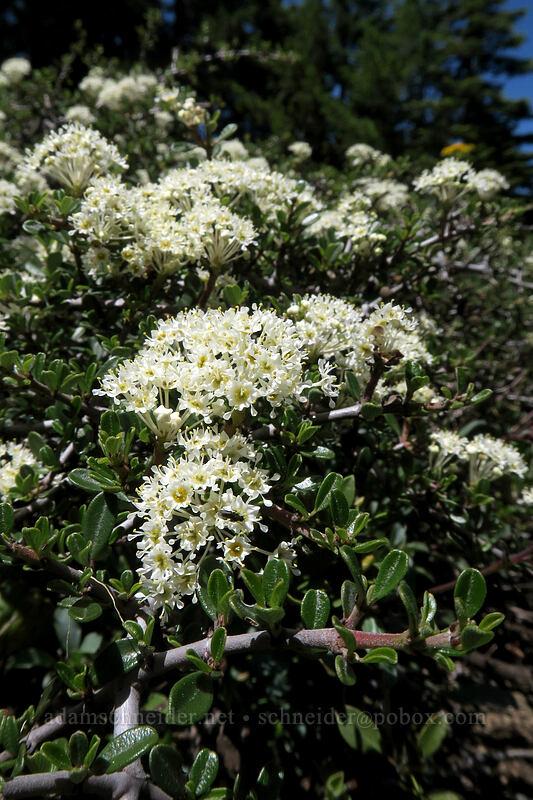 mountain white-thorn (Ceanothus cordulatus) [King Mountain ACEC, Josephine County, Oregon]