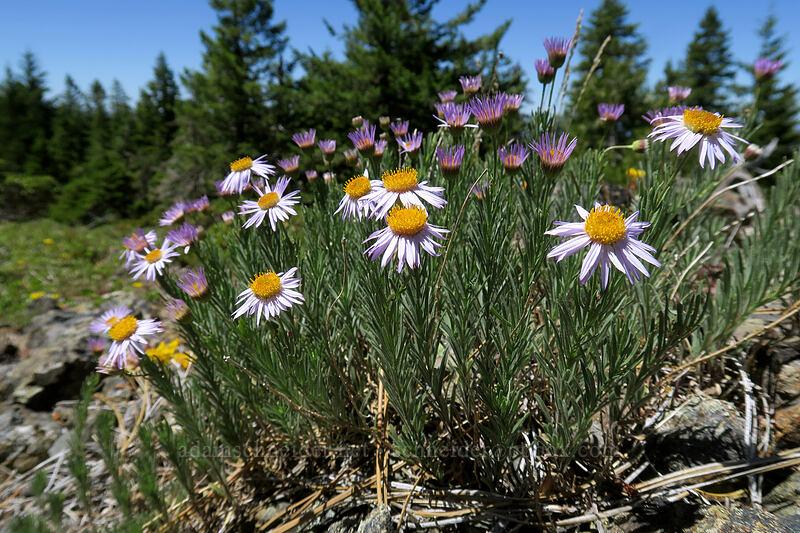 leafy fleabane (Erigeron foliosus) [King Mountain ACEC, Josephine County, Oregon]