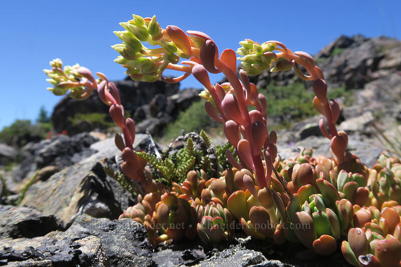creamy stonecrop (Sedum oregonense) [King Mountain ACEC, Josephine County, Oregon]