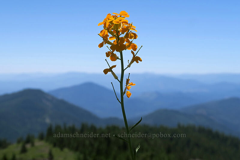 wallflower (Erysimum capitatum) [King Mountain ACEC, Josephine County, Oregon]