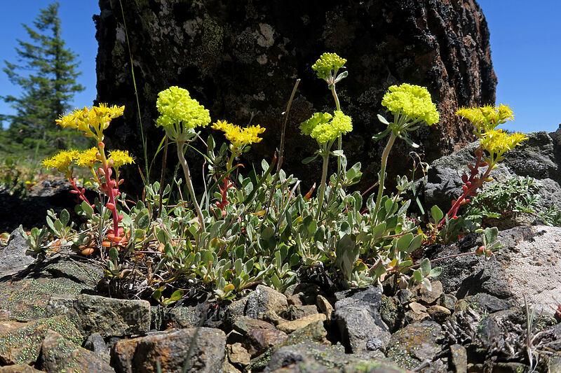 sulphur flower & stonecrop (Eriogonum umbellatum, Sedum spathulifolium) [King Mountain ACEC, Josephine County, Oregon]
