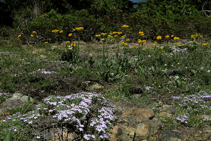 spreading phlox & western groundsel (Phlox diffusa, Senecio integerrimus) [King Mountain ACEC, Josephine County, Oregon]