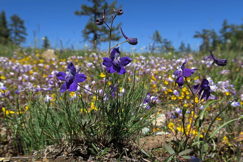 larkspur (Delphinium nuttallianum) [King Mountain ACEC, Josephine County, Oregon]
