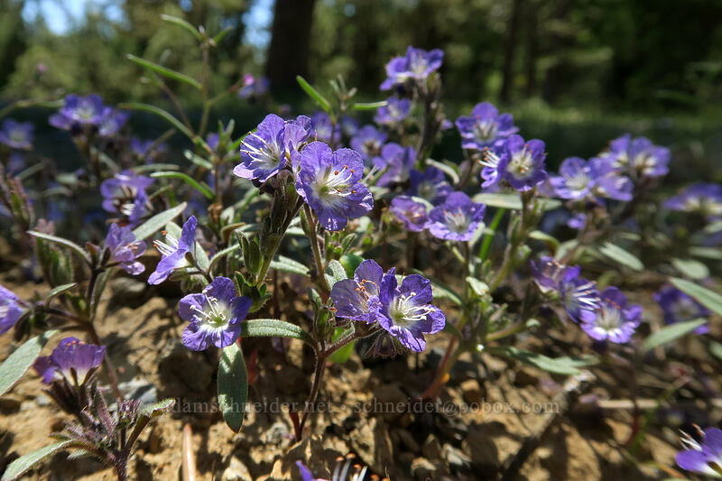 Peck's phacelia (Phacelia peckii) [King Mountain ACEC, Josephine County, Oregon]