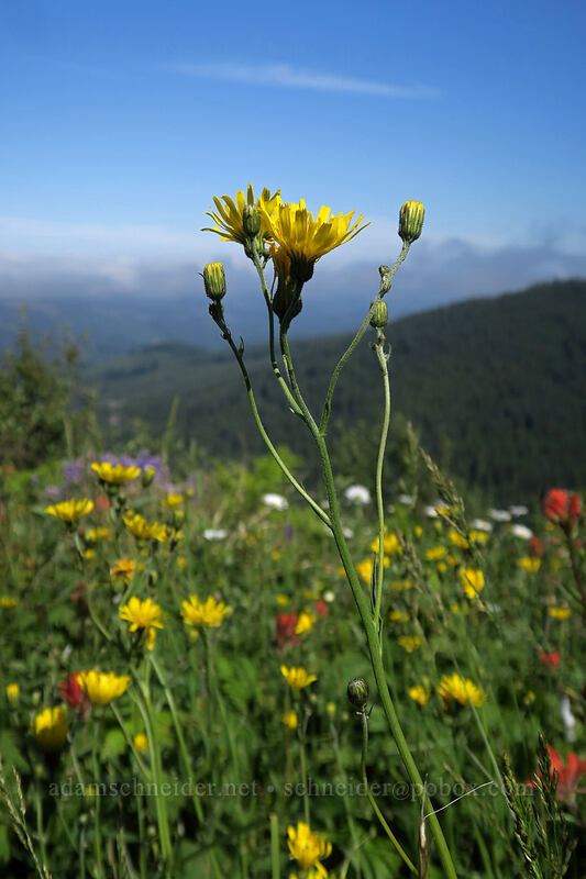 yellow hawkweed (Hieracium lachenalii) [Grouse Vista Trail, Yacolt Burn State Forest, Washington]
