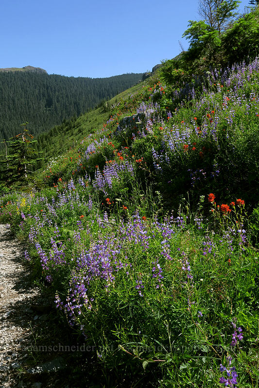 wildflowers [Grouse Vista Trail, Gifford Pinchot National Forest, Washington]