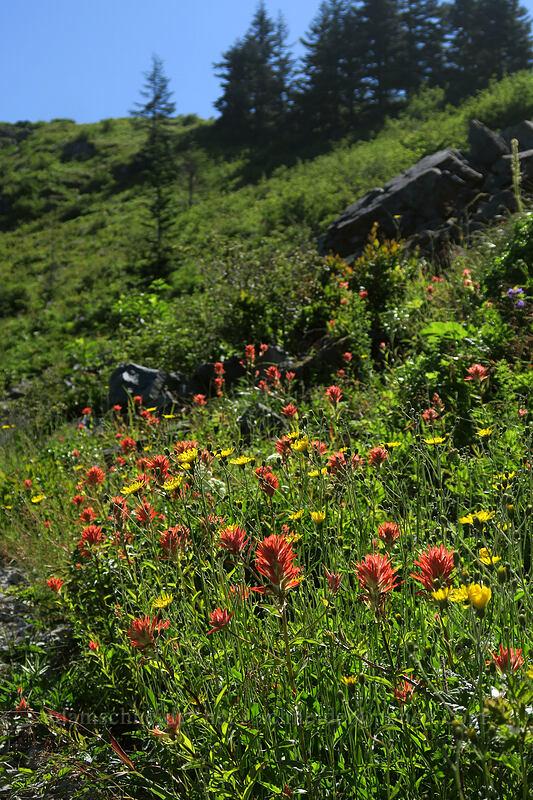 wildflowers [Grouse Vista Trail, Gifford Pinchot National Forest, Washington]
