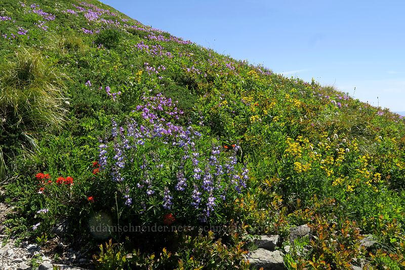 wildflowers [Silver Star Mountain, Gifford Pinchot National Forest, Washington]