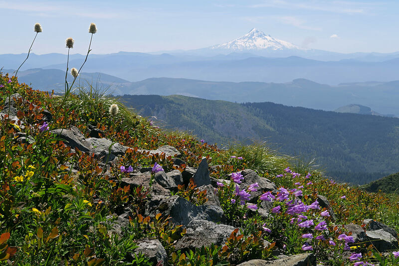 wildflowers & Mount Hood [Silver Star Mountain, Gifford Pinchot National Forest, Washington]