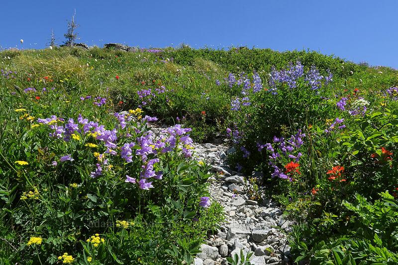 trail through wildflowers [Silver Star Mountain, Gifford Pinchot National Forest, Washington]