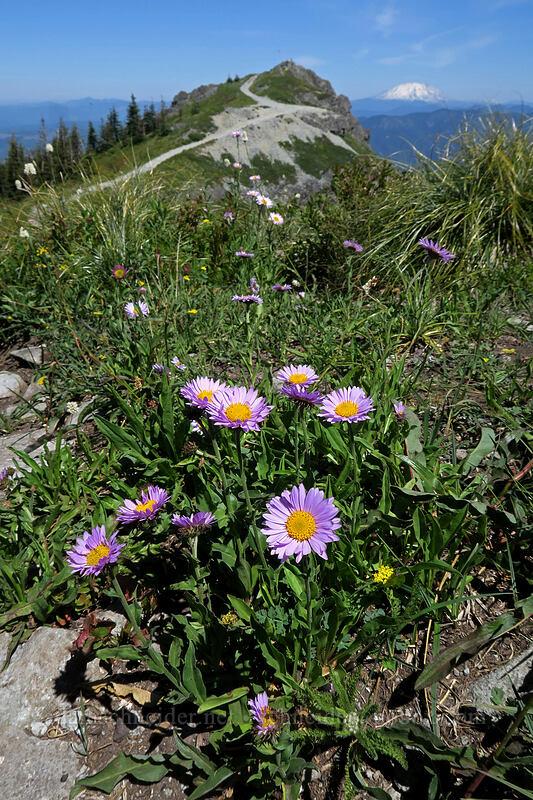 subalpine fleabane (Erigeron glacialis var. glacialis (Erigeron peregrinus)) [Silver Star Mountain, Gifford Pinchot National Forest, Washington]