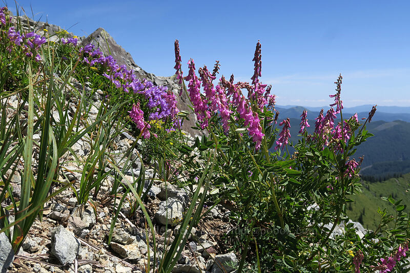 western sweet-vetch (Hedysarum occidentale) [Silver Star Mountain, Gifford Pinchot National Forest, Washington]