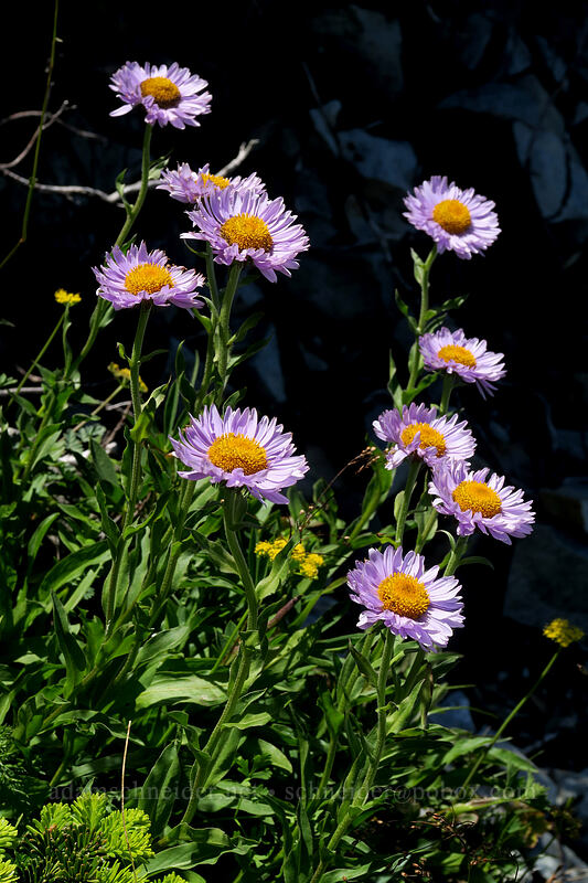 subalpine fleabane (Erigeron glacialis var. glacialis (Erigeron peregrinus)) [Silver Star Mountain summit, Gifford Pinchot National Forest, Washington]