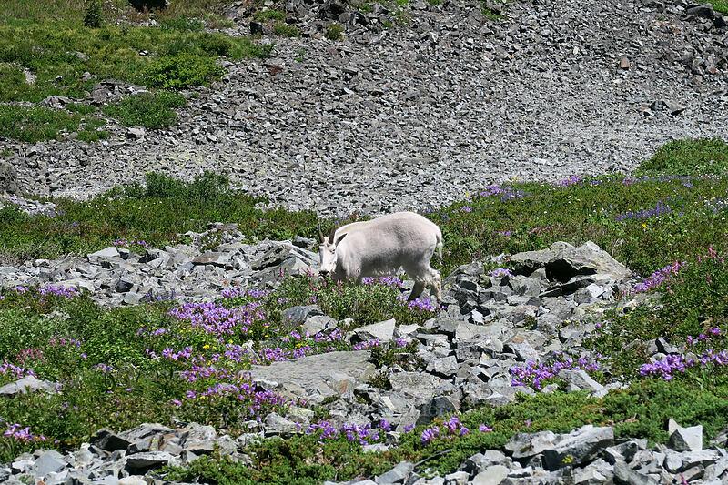 mountain goat & wildflowers (Oreamnos americanus) [Silver Star Mountain summit, Gifford Pinchot National Forest, Washington]