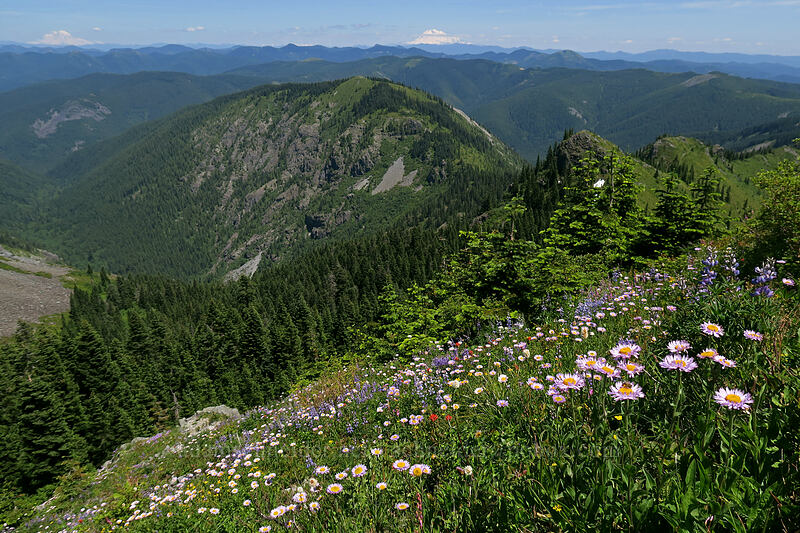 wildflowers & Mt. Adams [Silver Star Mountain, Gifford Pinchot National Forest, Washington]