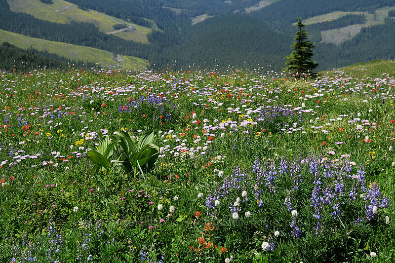 wildflowers [Silver Star Mountain Trail, Gifford Pinchot National Forest, Washington]