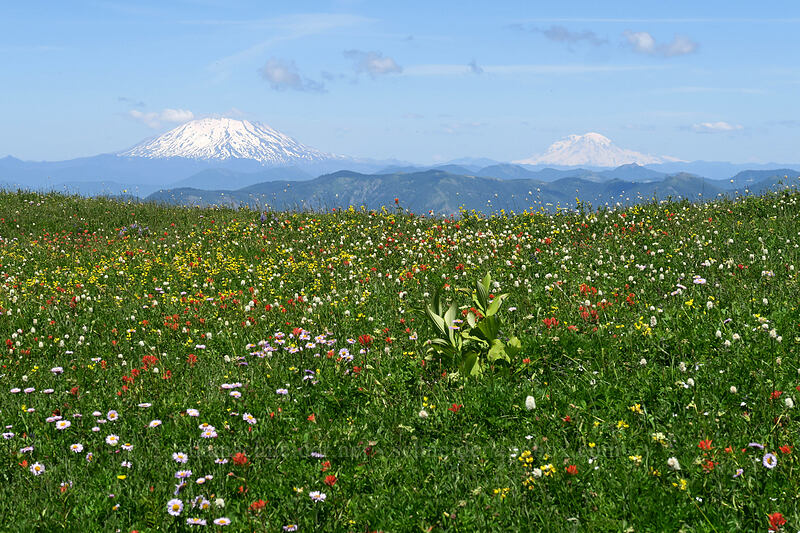 wildflowers, Mt. St. Helens, & Mt. Rainier [Silver Star Mountain Trail, Gifford Pinchot National Forest, Washington]