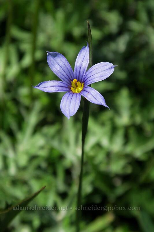 blue-eyed grass (Sisyrinchium idahoense) [Silver Star Mountain Trail, Gifford Pinchot National Forest, Washington]